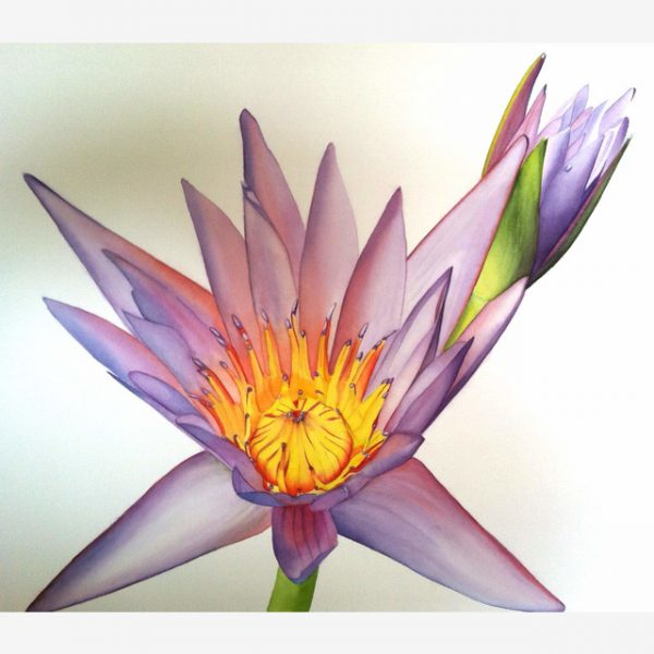 Waterlily Original Watercolours by Carolyn Judge Square